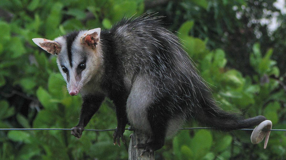 Животный мир Панамы, Южный опоссум