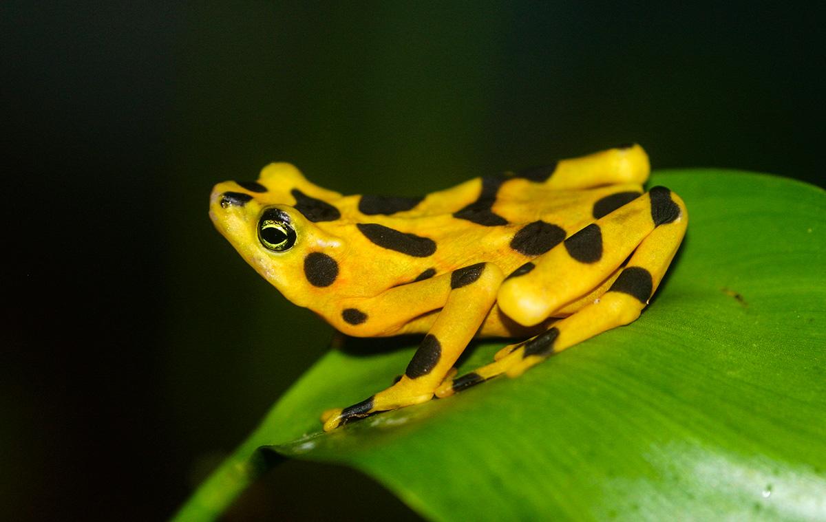Золотая лягушка Панамы, Туры в Панаму