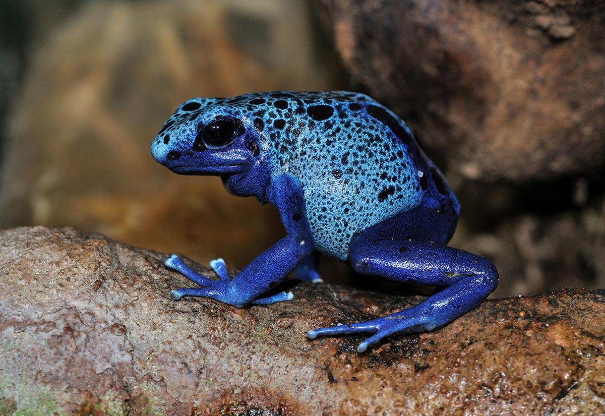 Голубая лягушка Панамы, Туры в Панаму